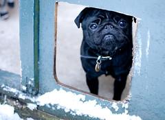 Betty sadface :( (Zemlinki!) Tags: snow black pug