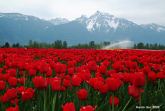 Agassiz 4899 color-e (Harris Hui (in search of light)) Tags: flowers red bw white mountain canada vancouver blackwhite bc tulips widescreen wideshot richmond digitalbw amateur fraservalley vancovuer agassiz bwconversion tulipsfestival mountcheam sigma1850mmf28 fujis3pro tulipsfields lotsofflowers bworcolor seabirdisland beautifultulips bestofbc harrishui vancouverdslrshooter beauitfulbc agassiztulipsfestival tulipswithoutcolor