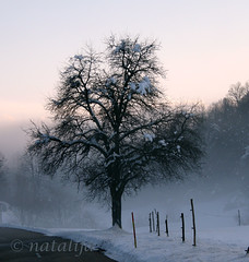 Stara jablana ob cesti (natalija2006) Tags: winter snow tree nature fog slovenia slovenija zima appletree natalija sneg otw narava megla drevo jablana impressedbeauty absolutelystunningscapes npisec eplje