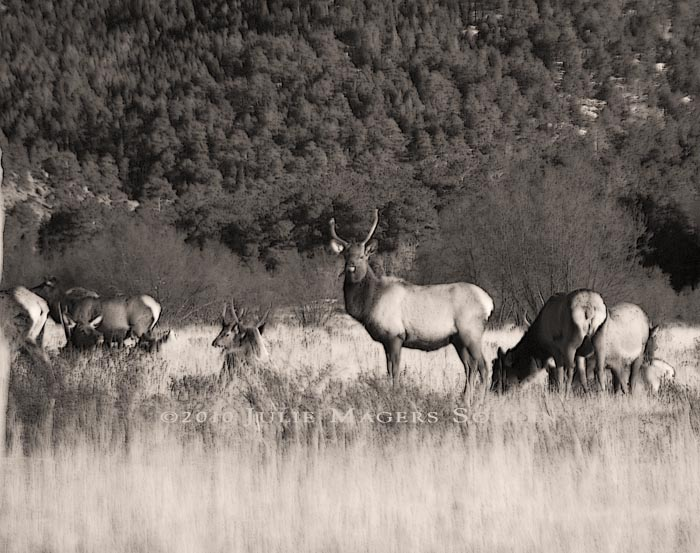 A dominant bull elk guards his harem protectively in a sepia print.