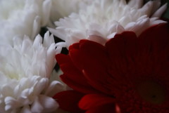 Innocence & Passion (░S░i░l░a░n░d░i░) Tags: red white flower nature this natuur gerbera rood wit distillery bloemen 2010 renateeichert resilu