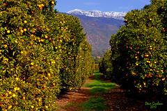 orange grove mountains (artfilmusic) Tags: ca orange mountains grove ojai topa anawesomeshot