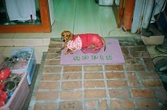 Sausage Dog Shame (deepstoat) Tags: street dog zeiss taiwan dachshund yashicat5 shame humiliation kodakportra ignominy deepstoat