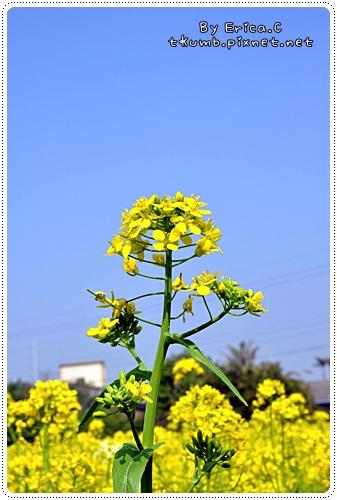油菜花 (7)