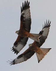 Red Kites, Gigrin Farm (alison brown 35) Tags: uk winter wild bird nature birds wales wildlife january birdofprey 2010 birdwatcher 80400mm rhayader milvusmilvus gigrinfarm faunainmotion redkiteredkites