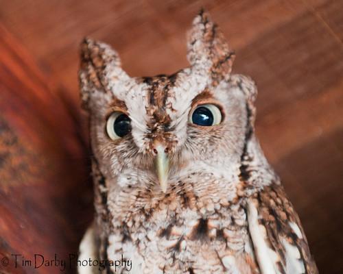 Eastern Screech Owl-46