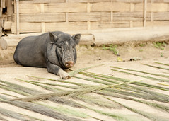 _MG_9039 (Tim Roper) Tags: rural pig countryside village laos lao hilltribe