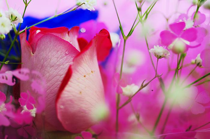 玫瑰、思念、情人節