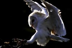barn owl in flight 3 (DSLR Lee) Tags: birds flying eagle hawk flight feathers owl falcon birdsofprey talons