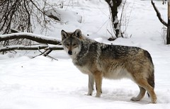 Mexican wolf IMG_2720 (OZinOH) Tags: columbuszoo columbus zoo wolf columbusohio columbusoh canis mexicanwolf canislupus canidae canislupusbaileyi