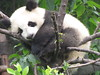 Panda sleeping in a tree (close-up)