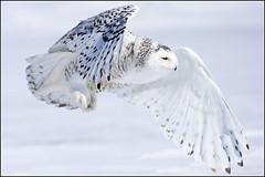 Owl (Snowy) - 1835 (Earl Reinink) Tags: flight raptor snowyowl snowyowlinflight earlreinink wwwearlreininkcom wwwipaintca