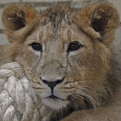 Little Lion (Gary's Photos!!) Tags: england london nature animal canon photography eos zoo photo foto leo britain wildlife lion bigcat 7d panther lioncub londonzoo asiaticlion 100400l garywilson