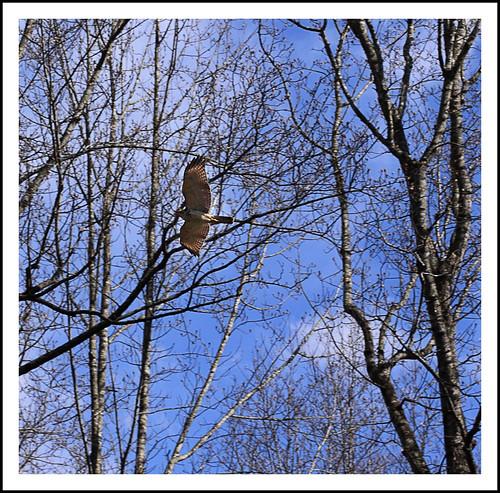 Day 72 - Hawk