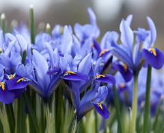 iris reticulata (penwren) Tags: flowers blue iris canon sussex march spring purple westsussex bokeh nationaltrust royalbotanicgardens wakehurstplace ardingly irisreticulatajoyce kewatwakehurst canoneos5dmarkll