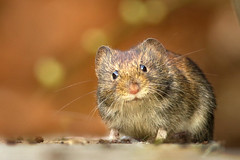 Mickey.. (hvhe1) Tags: nature animal mouse mammal rodent terrace wildlife mickey seeds naturesfinest interestingness4 specanimal hvhe1 hennievanheerden