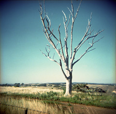 A Sunburnt Country (dave.carswell) Tags: blue sky tree 6x6 film rural fence xpro crossprocessed lofi australia melbourne victoria lonelytree holgacfn tullamarineairport kodakektachromee200