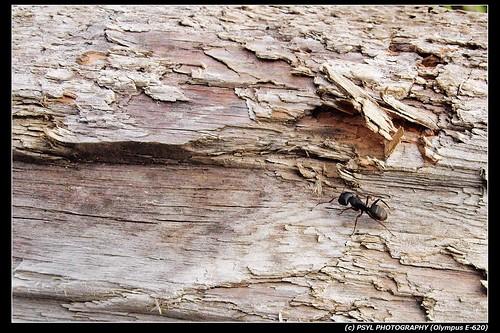 Carpenter Ant?