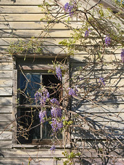 Wisteria Window (magarell) Tags: flower abandoned window nj wisteria somersetcounty franklintownship