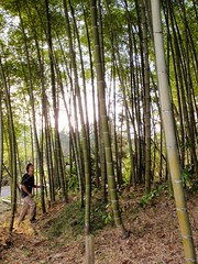La foret de bamboos