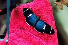 baudchon-baluchon-mindo-papillons-6