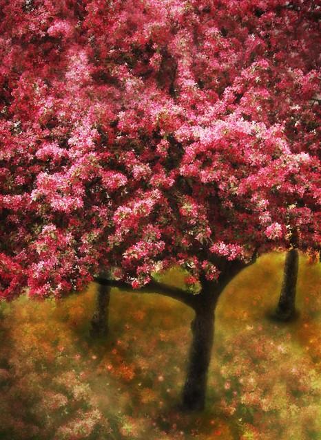 405Pink Cherry Tree-orchard-web