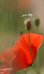ami ami ! (u2tryololo) Tags: red flower nature fleur rouge poppy coquelicot ringexcellence