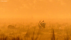 Sarus Crane (Grus Antigone) (Sanjay Dandekar) Tags: saruscrane grusantigone crane bird bharatpur india rajasthan saruscouple courtship nikon sigma sigma150600mmsports d500