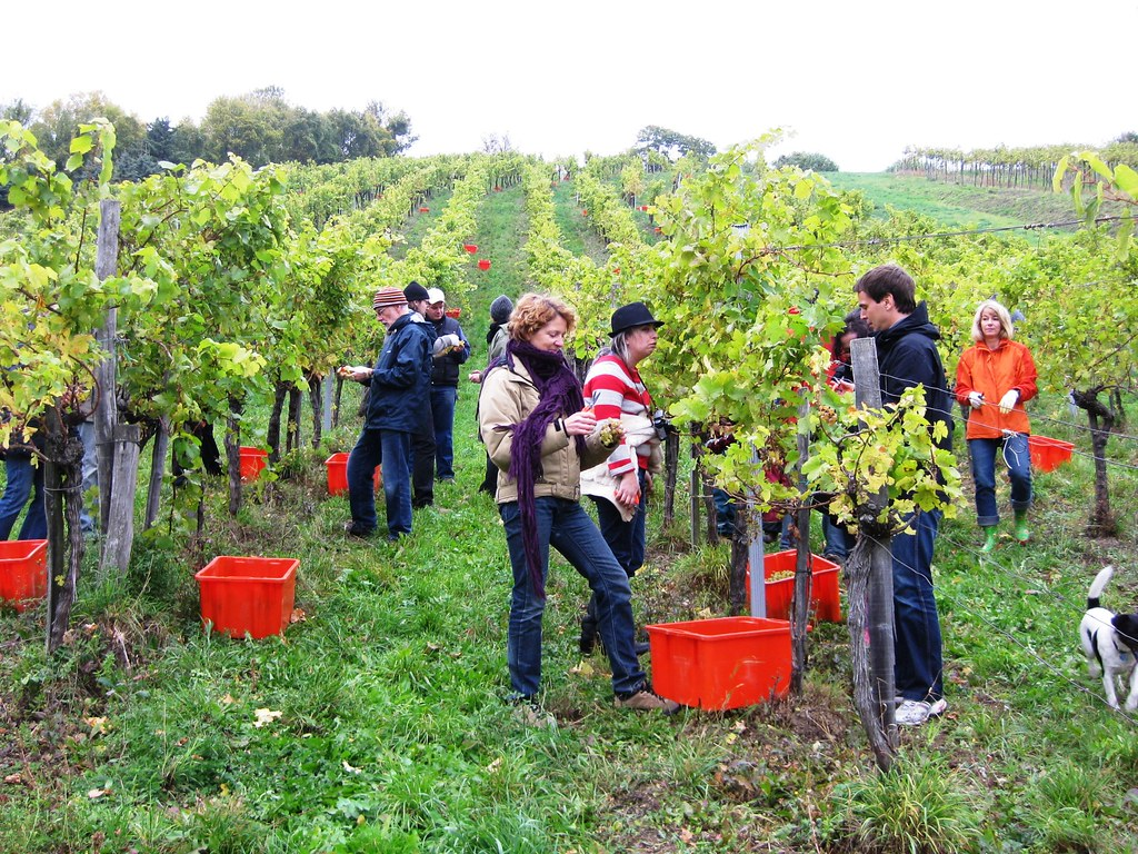 Picking Gemischten Satz Grapes in Vienna