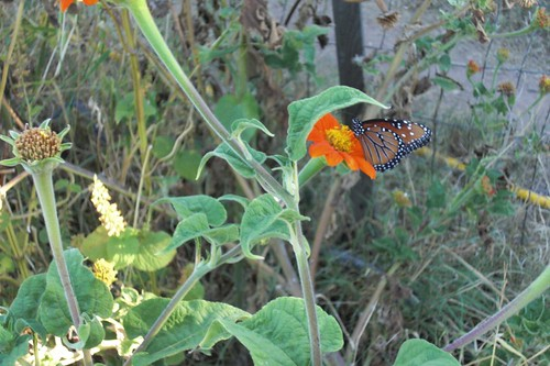 Tithonia rotundifolia with butterfly