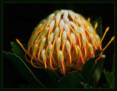 Pincushion Protea Unfurled (TT_MAC) Tags: flower nature hawaii maui protea onblack pincushionprotea southafricanflowers auniverseofflowers flickrflorescloseupmacros cffaa trolledproud