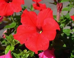 SOLANACEAE  - Red Petunia (Petunia x hybrida)  (kaiyanwong223) Tags: solenaceae  petuniaxhybrida redpetunia  tsingyimtrstation Taxonomy:binomial=petuniaxhybrida