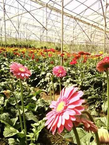 a greenhouse growing colorful flowers in Dalat city, Vietnam