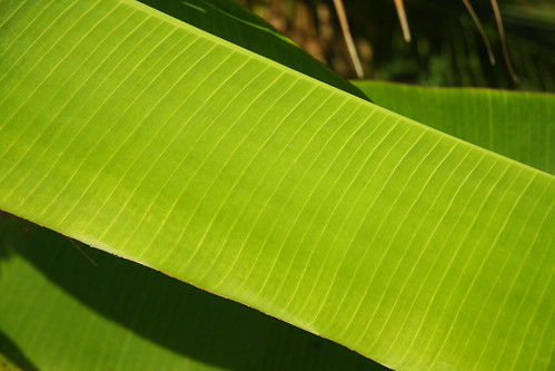 (GBL) Green Banana Leaf