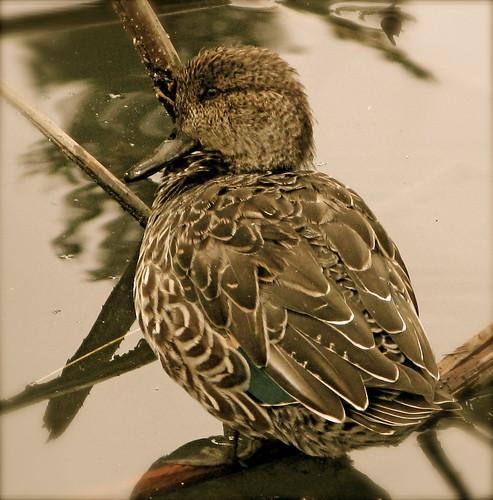meditative duck