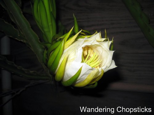 1.3 Dragon Fruit Literally Blooms in Hours 2