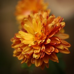winter sun:  337/365 (helen sotiriadis) Tags: orange flower macro green yellow closeup canon published dof bokeh depthoffield chrysanthemum canonef100mmf28macrousm canoneos40d toomanytribbles