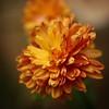 winter sun:  337/365 (helen sotiriadis) Tags: orange flower macro green yellow closeup canon published dof bokeh depthoffield chrysanthemum canonef100mmf28macrousm canoneos40d toomanytribbles
