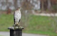 hawk on mailbox