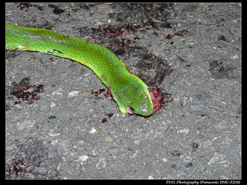 Roadkilled Taiwan Green Snake (Cyclophiops major) - 青蛇