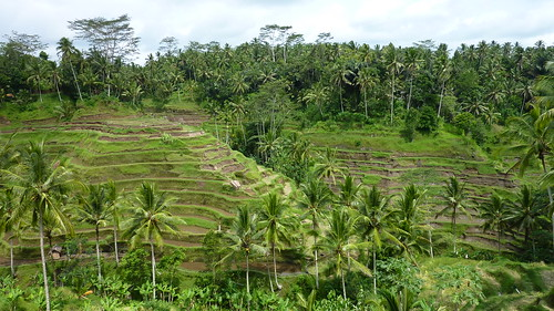 Rice paddies around Ubud