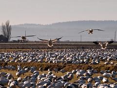4 Snow Geese Landing (armadilo60) Tags: bird skagitvalley snowgeese