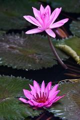 Pink lotus flowers (Peter Nijenhuis) Tags: flowers bali indonesia lotus 500d ef70300mmf456isusm tamanburungbalibirdpark peternijenhuis