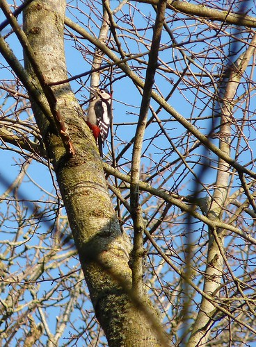 11889 - Great Spotted Woodpecker at Mewslade, Gower