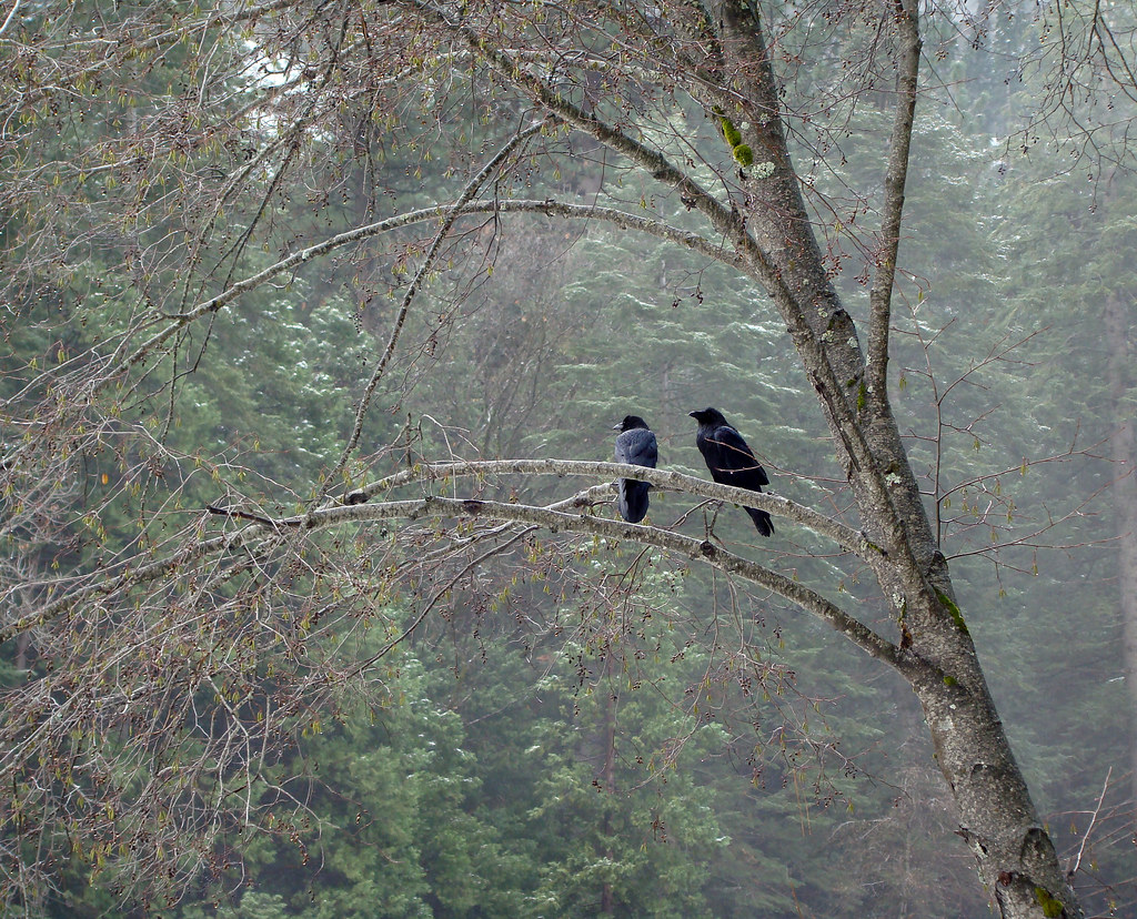 DSC04132 Yosemite two crows