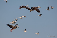Incoming (gretchensteele1) Tags: waterfowl snowgeese silvercreekhuntclub