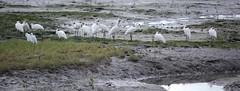 Spoonbills and little egret (tkmckinn) Tags: birds australia july09