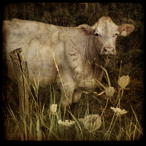 Charity the Charolais Cow...Up for Auction