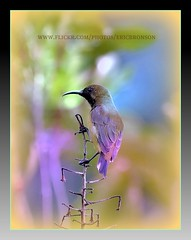 Sunbird Happy Tuesday (Ericbronson's Photography) Tags: nature interesting singapore pasir sunbird ris myeverydaylife aplusphoto ericbronson