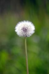 Pienė (Zitute) Tags: gamta medžiai gėlės augalas pienė